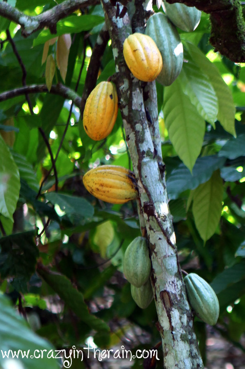 Cacao Tree