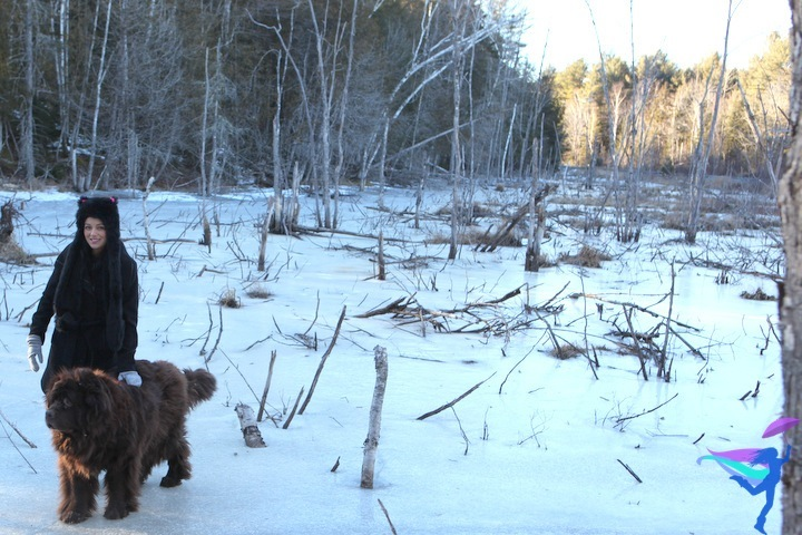 brown newfoundland dog winter Maine