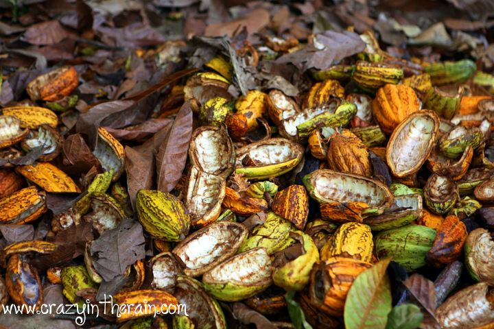 Cocoa Farm Dominican Republic