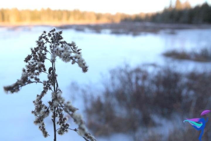 Maine winter plant