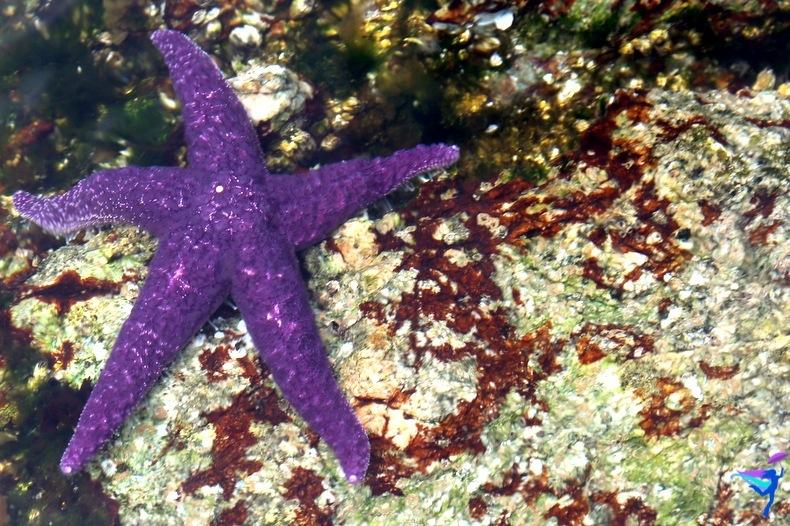 West Coast Wilderness Lodge Vacations Abroad Egmont, British Columbia  Skookumchuck Narrows Provincial Park Skook Rapids purple starfish